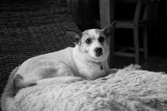 Netter Hund, der auf einem Weidenschaukelstuhl sitzt stockbilder