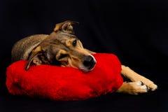 Netter Hund, der auf rotem Kissen stillsteht Stockfotos