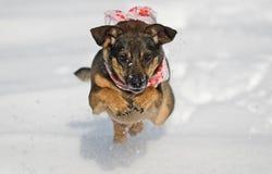 Netter Hund, der auf Schnee springt Stockbild