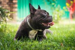 Netter Hund der französischen Bulldogge liegt im Gras stockbild