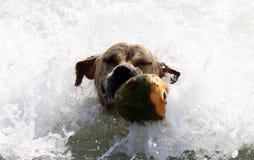 Netter Hund, der im Ozean, in den Aktionsbildern der Hunde- jagenden Kokosnuss im Meer und im Strand spielt Lizenzfreie Stockfotos