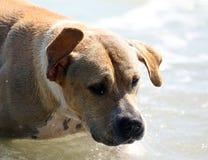 Netter Hund, der im Ozean, in den Aktionsbildern der Hunde- jagenden Kokosnuss im Meer und im Strand spielt Lizenzfreies Stockbild