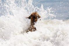 Netter Hund, der im Ozean, in den Aktionsbildern der Hunde- jagenden Kokosnuss im Meer und im Strand spielt Stockfoto