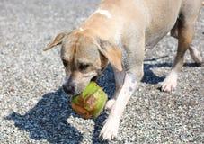 Netter Hund, der im Ozean, in den Aktionsbildern der Hunde- jagenden Kokosnuss im Meer und im Strand spielt Lizenzfreies Stockfoto