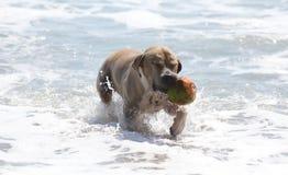 Netter Hund, der im Ozean, in den Aktionsbildern der Hunde- jagenden Kokosnuss im Meer und im Strand spielt Stockfotos