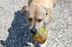 Netter Hund, der im Ozean, in den Aktionsbildern der Hunde- jagenden Kokosnuss im Meer und im Strand spielt Lizenzfreie Stockfotografie
