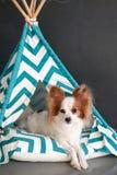 Netter Hund in der indischen Tipihütte Zelt für Hund lizenzfreie stockbilder
