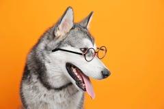 Netter Hund des alaskischen Malamute auf Farbhintergrund lizenzfreie stockbilder
