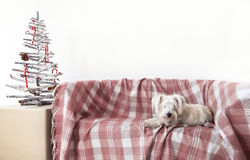 Netter Hund entspannen sich auf dem Sofa im Weihnachten nach Hause verziert stockbild