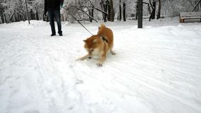 Netter Hund hat Spaß, das Spinnen und spielt mit Schnee, sich benimmt lustiges snowing Winter stock footage