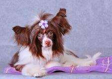 Netter Hund mit einem Bogen Chinese Crested Lizenzfreie Stockfotografie