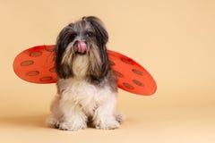 Netter Hund mit Marienkäfer beflügelt und leckt sich Lizenzfreie Stockfotografie