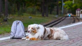 Netter Hund mit Rucksack stock footage