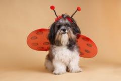 Netter Hund oben gekleidet wie ein Marienkäfer Lizenzfreie Stockfotografie