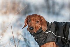 Netter Hund Rhodesian Ridgeback auf Winterhintergrund Lizenzfreie Stockbilder