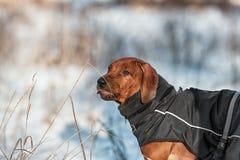 Netter Hund Rhodesian Ridgeback auf Winterhintergrund Stockbild