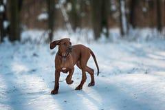 Netter Hund Rhodesian Ridgeback auf Winterhintergrund Stockfoto