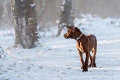 Netter Hund Rhodesian Ridgeback auf Winterhintergrund Lizenzfreie Stockfotografie