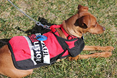Netter Hund, Ron Paul Verfechter Lizenzfreie Stockbilder