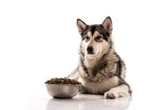 Netter Hund und sein trockenes LieblingsLebensmittel auf einem weißen Hintergrund Stockfotografie
