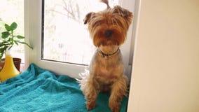 Netter Hunde-Yorkshire-Terrier sitzt auf dem Fenster Konzepthaustier-Lebensstilhund stock video