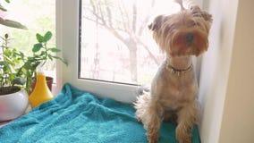 Netter Hunde-Yorkshire-Terrier sitzt auf dem Fenster Konzeptlebensstilschoßhund stock video