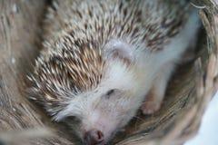 Netter Igelschlaf im Korb Stockfoto