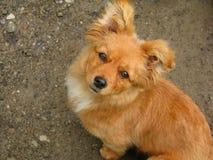 Netter Ingwerhund, der oben schaut Stockfotos