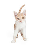 Netter inländischer Shorthair Kitten Standing Stockfotos