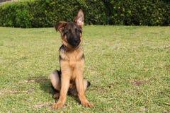 Netter intelligenter Welpe des Schäferhunds Lizenzfreie Stockbilder