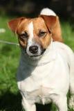 Netter Jack Russel-Terrier, der Sie betrachtet Stockbilder