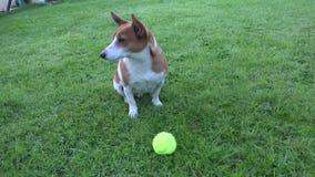Netter Jack Russell Terrier stock video