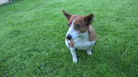 Netter Jack Russell Terrier stock video