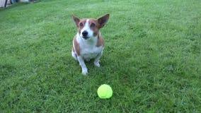 Netter Jack Russell Terrier stock footage