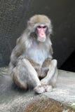 Netter japanischer Affe Lizenzfreies Stockbild