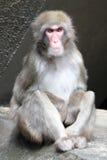 Netter japanischer Affe Lizenzfreie Stockfotografie