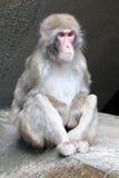 Netter japanischer Affe Stockbild