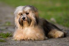Netter junger havanese Hund, der auf einer gepflasterten Straße im weichen Sonnenlicht liegt Lizenzfreies Stockbild