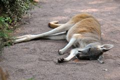 Netter Känguru, der aus den Grund schläft stockbilder
