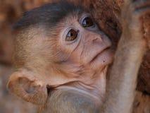 Netter kleiner Affe, der seine Wand des alten Tempels auswählt Lizenzfreie Stockfotos