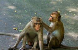 Netter kleiner Affe die Spezies ist gebürtig zu lebend und in den zentralen Wäldern Lizenzfreies Stockfoto