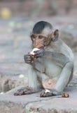 Netter kleiner Affe essen Banane Stockfotos