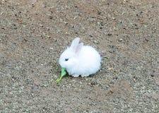 Netter kleiner Baby-Osterhase (weißes Kaninchen) sitzen und essen Gemüse Lizenzfreies Stockbild