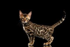 Netter kleiner Bengal Kitty Standing Isolated Black Background Lizenzfreie Stockfotografie
