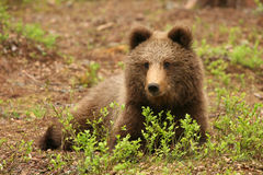 Netter kleiner brauner Bär, der hinter Busch sitzt lizenzfreies stockbild