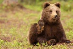 Netter kleiner brauner Bär, der Ihnen betrachtet und wellenartig bewegt Stockfotografie