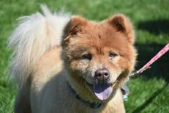 Netter kleiner Chow Puppy auf einem Gebiet lizenzfreie stockbilder