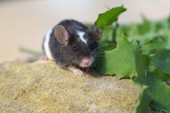 Netter kleiner Haustiermäuseabschluß oben Stockfoto