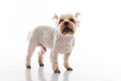 Netter kleiner Hund auf einem weißen Hintergrund Stockfotografie