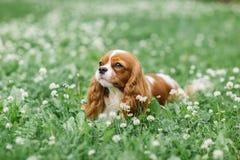 Netter kleiner Hund, der auf dem Gras liegt Stockbilder